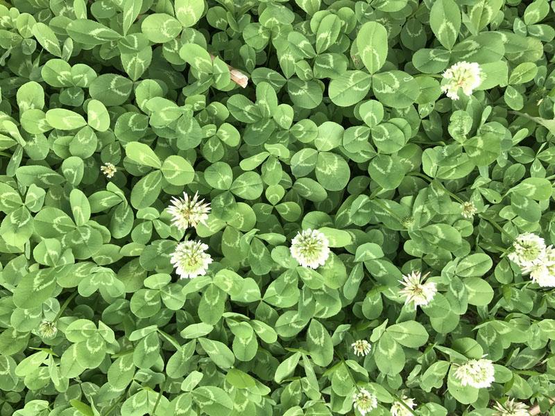 春に咲くクローバーの花